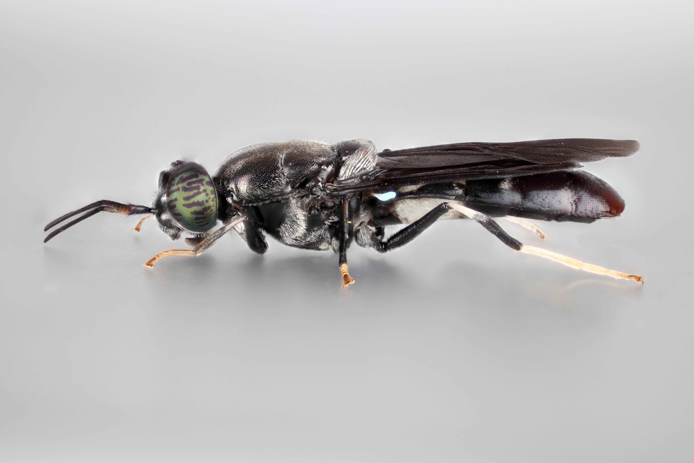 Hermetia illucens adult